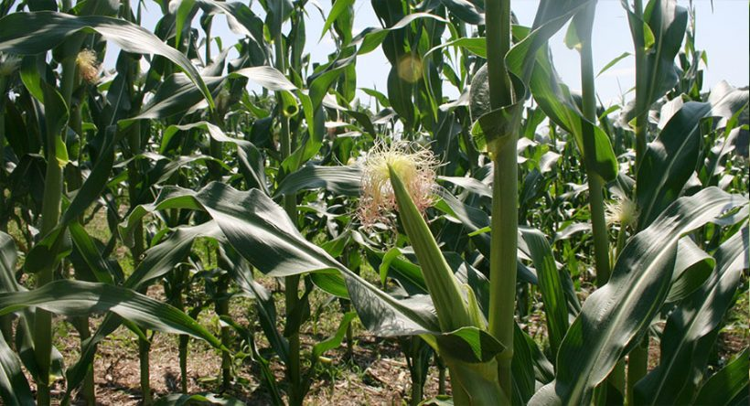 USDA Forecasts Record Corn, Soybean and Tobacco Yields for Pennsylvania