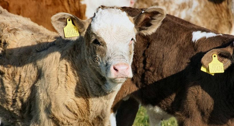 Bill Would Add Transparency to Cattle Markets