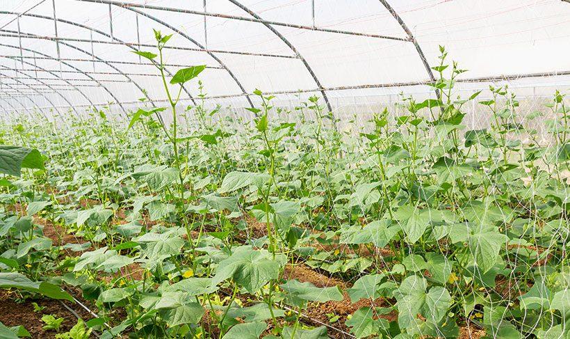 horticulture pumpkins