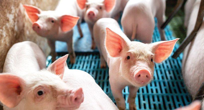 African Swine Fever Confirmed in Dominican Republic