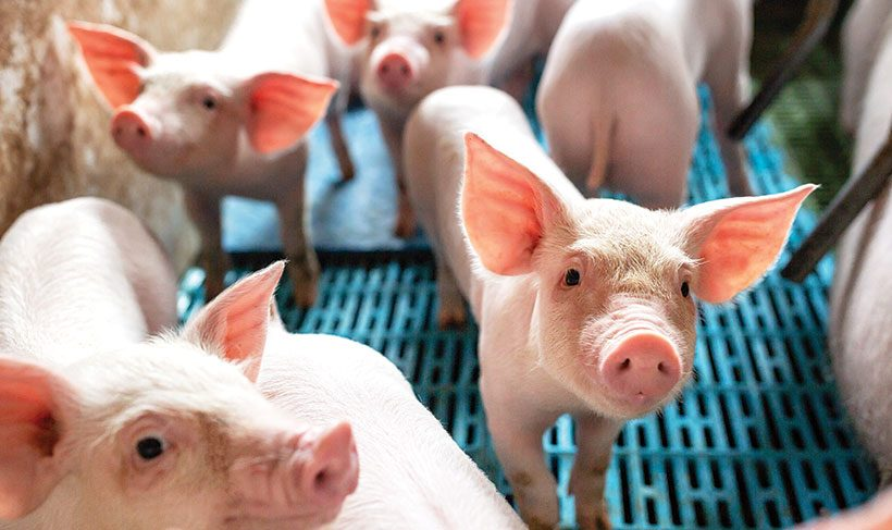 Swine Study Moves Into Second Phase