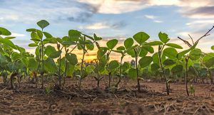 soybean field close-up