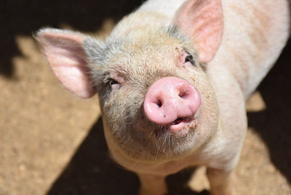 Kiss A Pig Contest to Support Educational Efforts