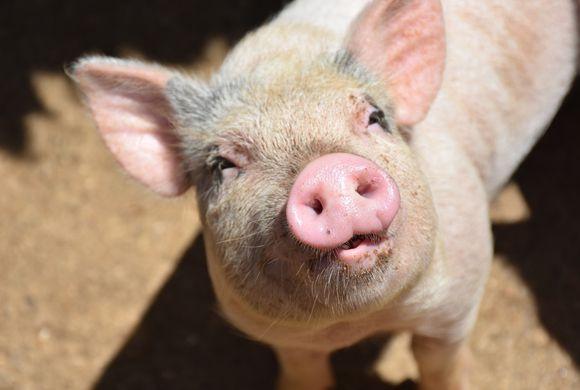 USDA Suspends Transport of Swine From Puerto Rico, U.S. Virgin Islands Over Swine Flu Concern