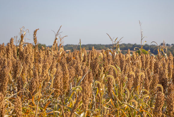 Cover Crop Rules for Prevented Planting Updated