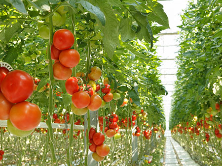 Hydroponic tomatoes hanging on vines from vines from the celing