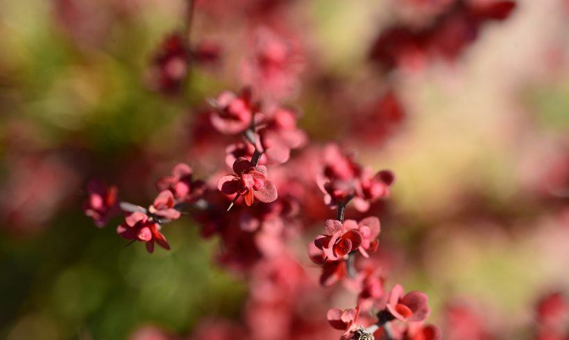 Japanese Barberry Added to Noxious Weed List